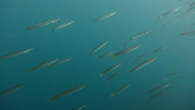 Yellowtail barracuda (Taiwan Ka-Ma-su) swimming underwater video