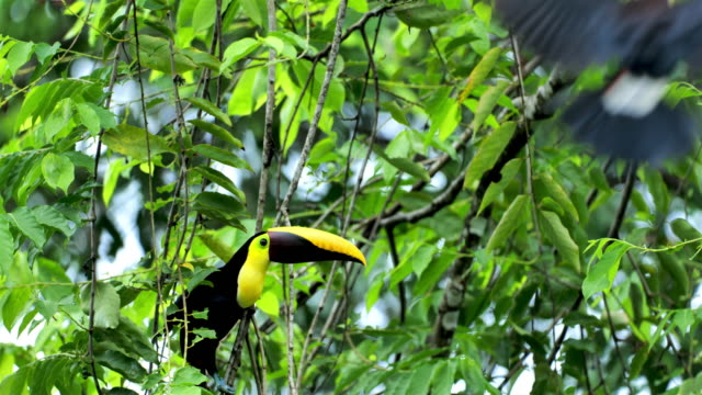 Yellow-throated (Black-mandibled) Toucan, Costa Rica