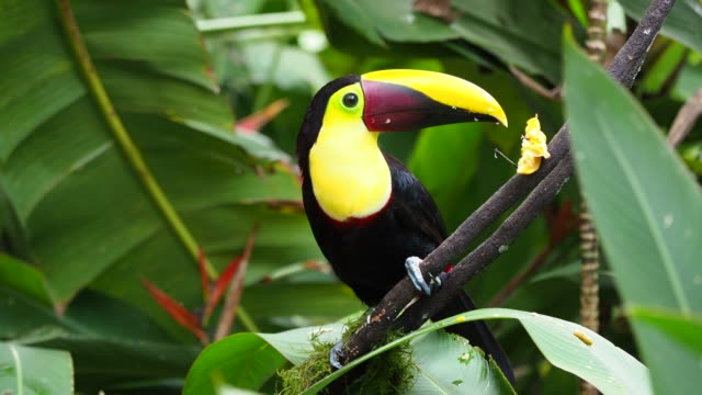 Die Toucan -Ramphastos ambiguus ist eine U-Haft in der Familie der Toucan (Ramphastidae) (Ramphastidae). – Video