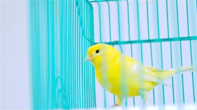 vídeos de stock e filmes b-roll de yelow em uma gaiola de pássaro azul - animal doméstico