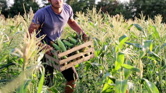 Yong farmer ollecting the corn cob on the sweetcorn field of organic eco farm video