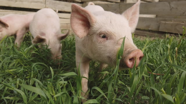 パンデミック危機時のピッペンと放牧のヨークシャー子豚 - 子豚点の映像素材/bロール