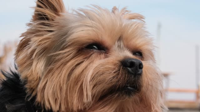 Yorkshire Terrier dog resting on the street Yorkshire Terrier dog resting on the street. portrait of an adult and wise dog. the dog actively breathes through its nose and looks around with wet eyes terrier stock videos & royalty-free footage