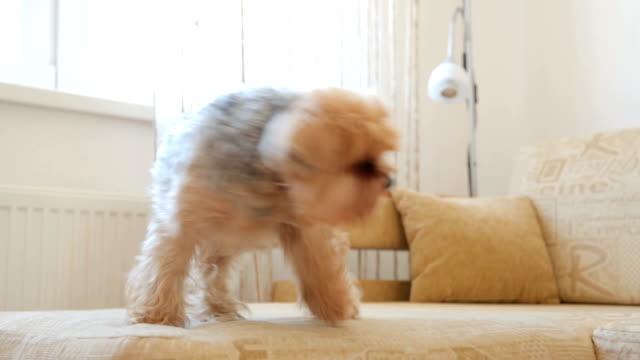 vídeos de stock, filmes e b-roll de yorkshire terrier no sofá - cauda