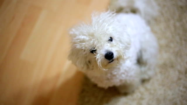 si talkin'di me?! - bichon frisé video stock e b–roll