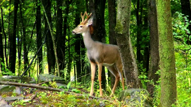 Young alert buck deer in spring forest