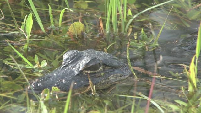 vidéos et rushes de jeune alligator 3 au 30f haute définition - partie du corps d'un animal