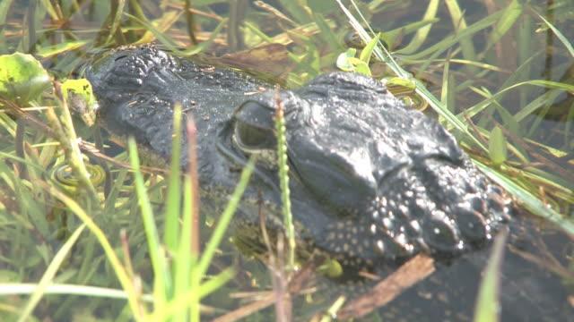 vidéos et rushes de jeune alligator 5 au 30f haute définition - partie du corps d'un animal