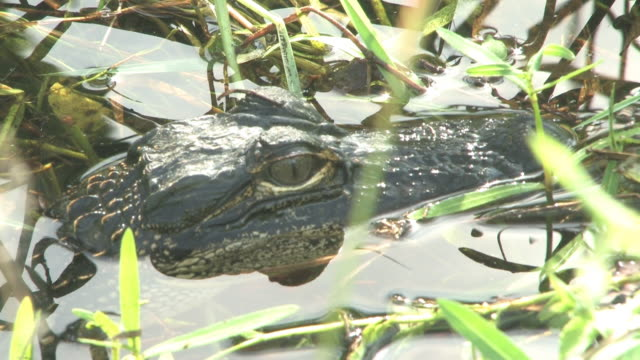 Young alligator A - HD 30F  笹 stock videos & royalty-free footage