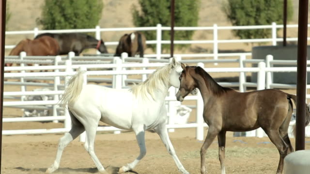 Young and beautiful horses in a corral. Nice thoroughbred foals in stable Young and beautiful horses runs in a corral. Nice thoroughbred foals in stable. Yellow sand on the groung corral stock videos & royalty-free footage