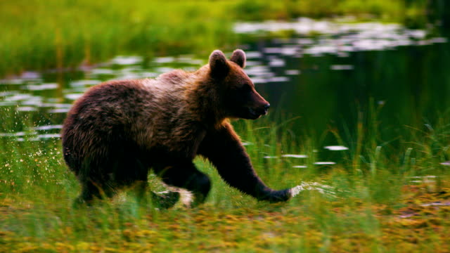 young and playful brown bear cub running free in a swamp - bear stock videos and b-roll footage