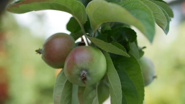 Young apple on the tree. Ripe apple on a tree. Apple tree. Juicy apple on the tree branch. Closeup. 4K