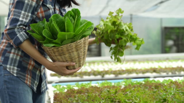 young asian cute farmer girl holding basket and collecting vegetables in hydroponic farm after harvesting some of green salad plants. she is happy and working with smile. seen in slow motion footage. - cestino video stock e b–roll