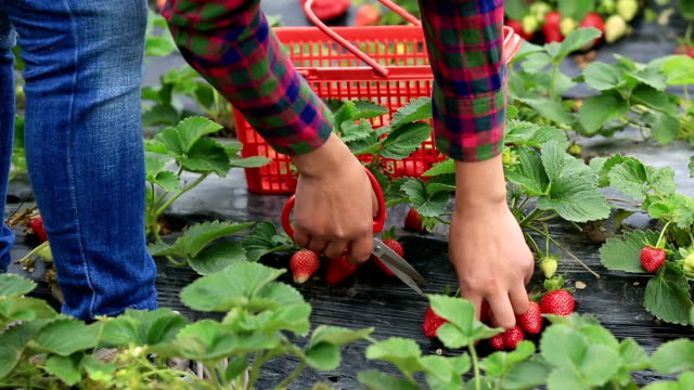 young asian woman hands picking strawberry in field video