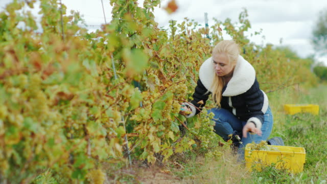 Young attractive woman with scissors cuts the grapes. Harvesting in the vineyard video