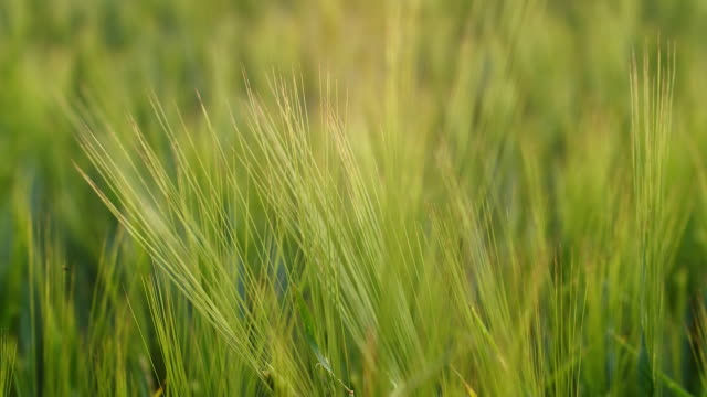 Young barley - zoom in video