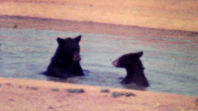 Young Bear Cubs Playing Together-1979 Vintage 8mm film video