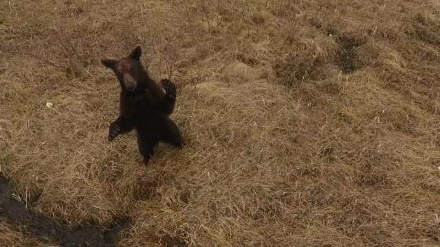 young bear in kunashir island (kuril islands) - bear stock videos and b-roll footage