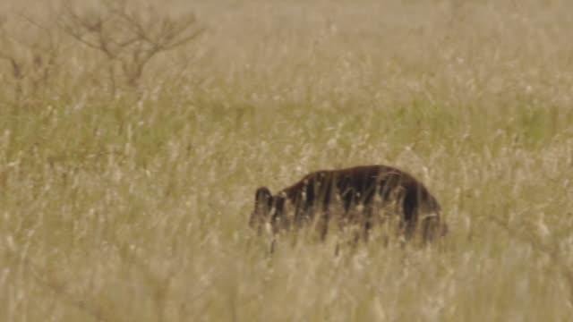 young bear i kunashir island (kuril islands) - däggdjur bildbanksvideor och videomaterial från bakom kulisserna