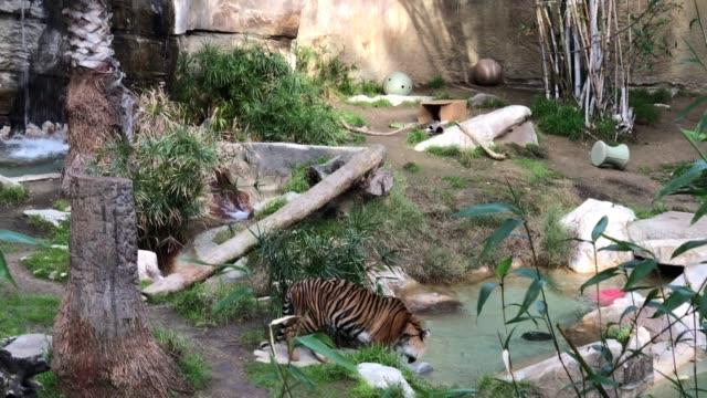 De jonge Bengaalse tijger drinkt water video
