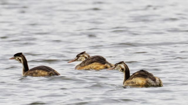 young birds great crested grebe(podiceps cristatus) swims on the lake on a cloudy summer day. - svasso video stock e b–roll