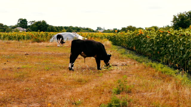 svarta och vita ungtjur äta färsk grön mat på fältet. ko betande - dansk kultur bildbanksvideor och videomaterial från bakom kulisserna