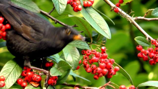 vídeos de stock e filmes b-roll de young blackbird feeding on red berries - baga
