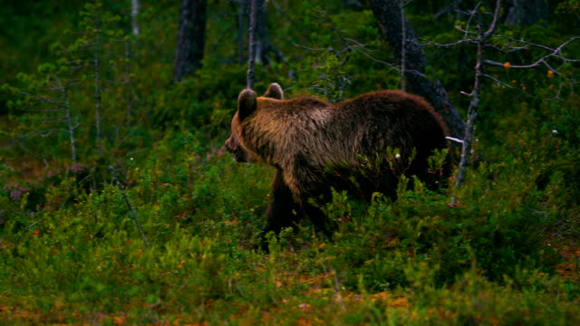 Young brown bear walking free in the forest looking for food Young brown bear cub walking free a late evening in the forest. Ursus arctos in the finnish taiga looking for food. Slow motion. bear stock videos & royalty-free footage