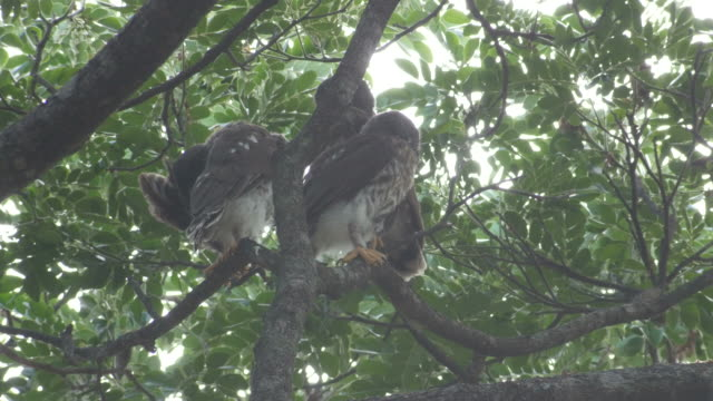 young brown hawk-owls resting on the tree video