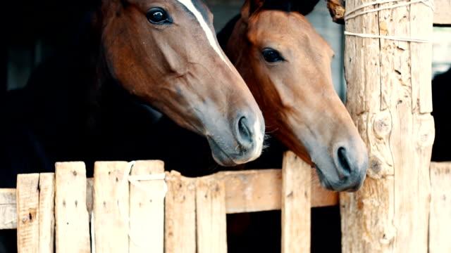 vídeos de stock, filmes e b-roll de jovens marrons cavalos no estábulo olhando feliz - cavalo