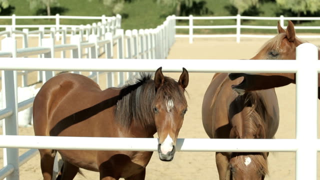 young brown horses in the corral young brown horses walk in the corral with white fence. Close up view corral stock videos & royalty-free footage