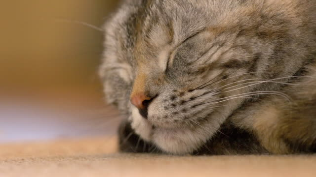 young brown scottish fold cat sleeping, close-up - gatto soriano video stock e b–roll
