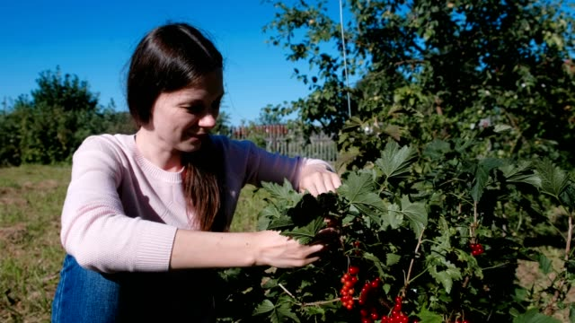young brunette woman eats red currant berries, tearing it from the bushes in the country. - ribes rosso video stock e b–roll