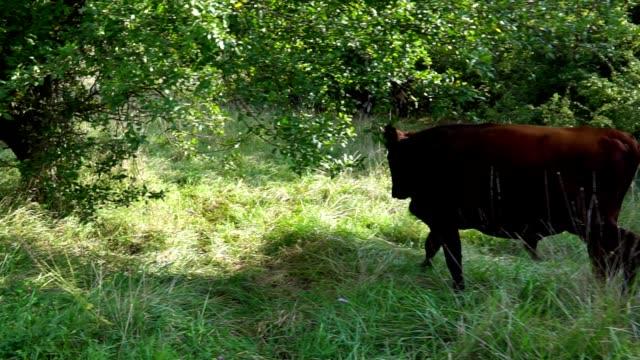 young bull walks through on a farm video