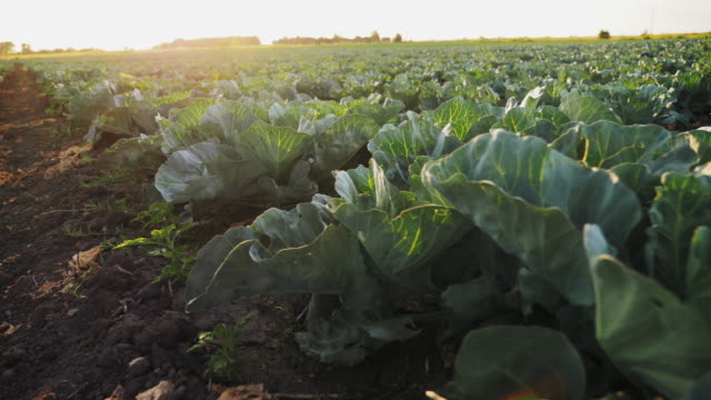 Young cabbage grows in the farmer field Young cabbage grows in the farmer field. Organic vegetable growing. Cabbage bushes with green leaves on the ground at sunset. Camera moves along rows of cabbage in slow motion cabbage stock videos & royalty-free footage