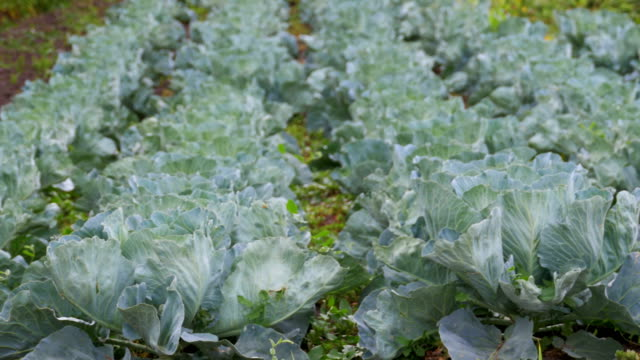 Young Cabbage Grows in the Farmer Field video
