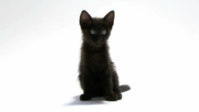 Young cat sitting and looking at the camera Young cat sitting and looking at the camera in front of a white background kitten stock videos & royalty-free footage