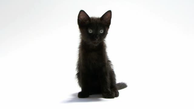 młody kot siedzący i patrząc na kamery - kociak filmów i materiałów b-roll