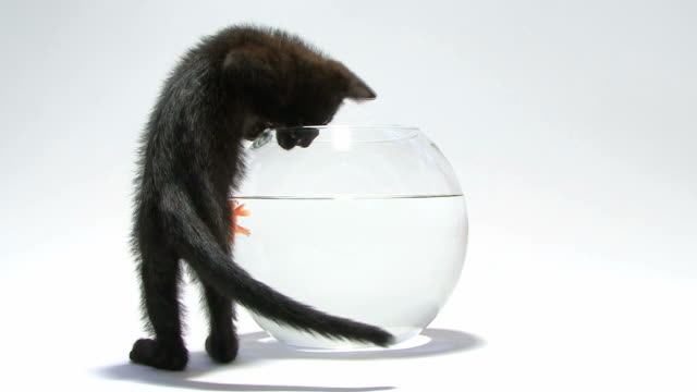 stockvideo's en b-roll-footage met young cat trying to catch fish in an aquarium - kitten