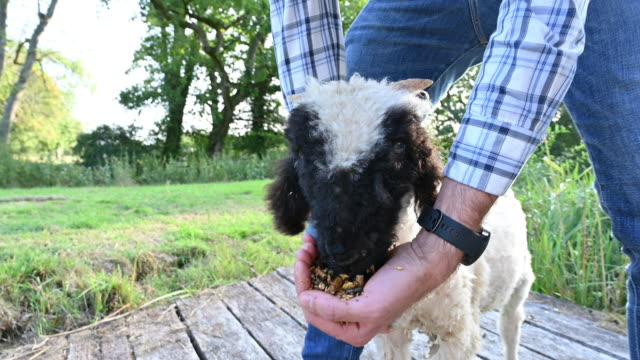 giovane uomo caucasico che nutre l'agnello del vallese blacknose a mano - sussex occidentale video stock e b–roll
