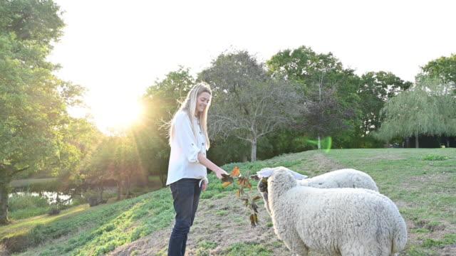 giovane donna caucasica che nutre le foglie di ramo alle pecore affamate - sussex occidentale video stock e b–roll