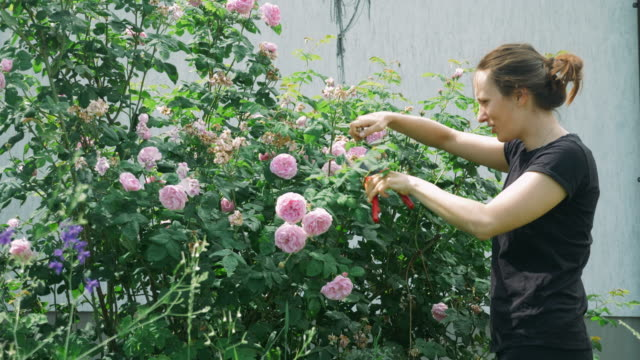 Young caucasian woman with secateurs in hands cutting roses in orchard. Female gardening beside her house on bright, sunny day. Woman pruning flowers in orchard