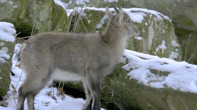 Young chamois standing between rocks