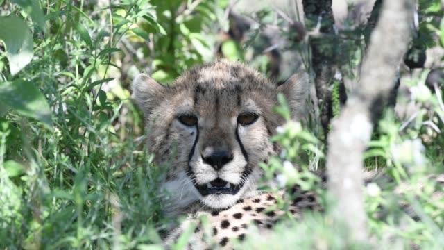 Young Cheetah in the wild footage, Ndutu,Tanzania