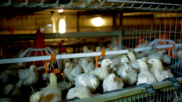 Young Chickens are eating and drinking video