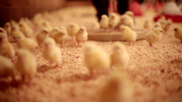 Young Chicks... video