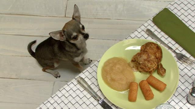 Resultado de imagen para chihuahua staring food