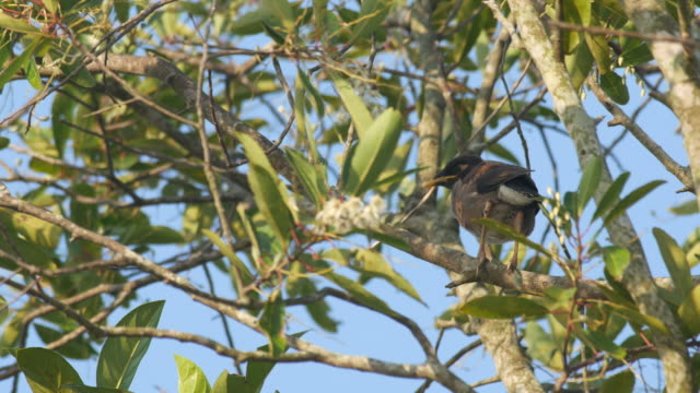 young common myna resting on the tree branch a young common myna bird is resting on the tree branch animal limb stock videos & royalty-free footage