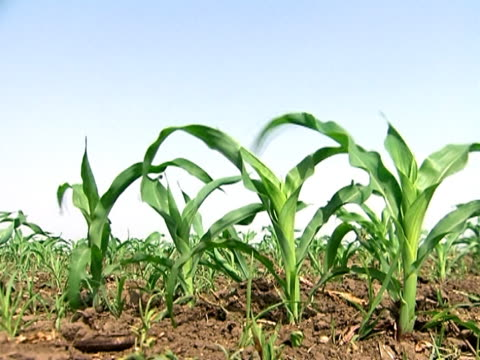 Young Corn Crops Plants of young corn in the wind monoculture stock videos & royalty-free footage