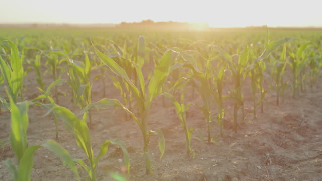 DS Young corn plants at sunset